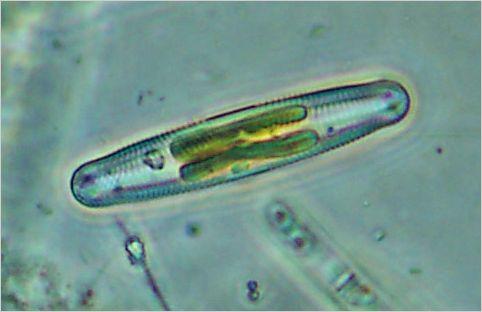 living Navicula diatom showing plastids. Ref: navicu03.